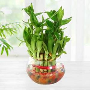 Two Layer lucky Bamboo Plant In Beautiful Glass Bowl