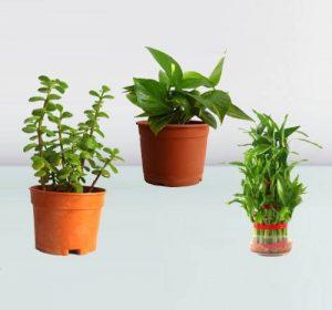 kolhapur plants